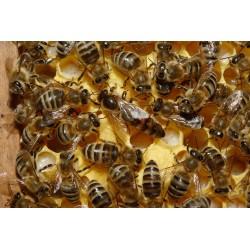 Nieunasieniona Królowa pszczela Buckfast Qvb